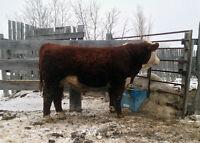 Registered Polled Hereford Bull