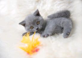 British shorthair kittens *READY NOW *