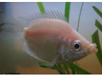 Free tropical fish - kissing gourami