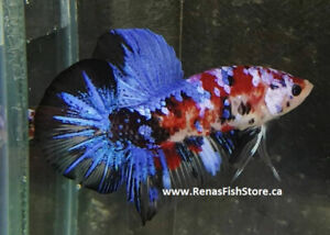 Male Betta Fish | Kijiji - Buy, Sell & Save with Canada's #1