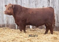 Red & Black Angus Bulls For Sale