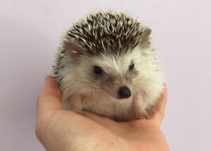 Young Hedgehog for Sale