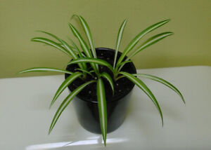 SPIDER HOUSE PLANT VARIEGATED - AIR PURIFYING - AQUARIUM PLANT