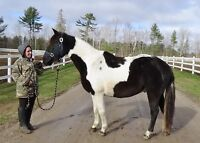 Rescued pinto X needs a home