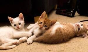 Affectionate Kittens Ashfield Ashfield Area Preview
