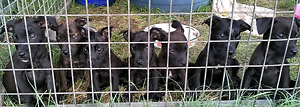 Labrador staffy x staffy puppies Kingaroy South Burnett Area Preview