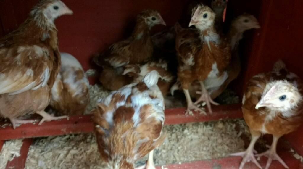 Goldline female hens, chickens, chicks 3 for £13 | in Toton,  Nottinghamshire | Gumtree