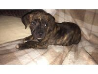 stunning staffy pups for sale