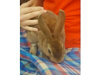 Baby Mini Rex Rabbit