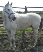 Awesome trail horse gelding for sale