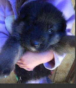 5 Beautiful Female German Shepherd Puppies for Sale