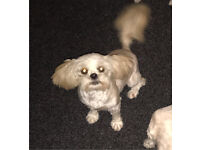 Shih tzu bitch for sale