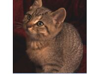 'Ellie-belly' - British Short Hair X part Bengal female kitten £225