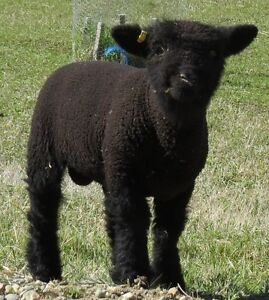 Olde English Babydoll Southdown Sheep for Sale