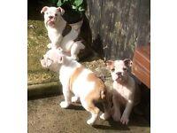 Britsh bulldog pups