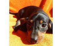 Miniature Dachshund girl puppy