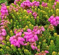 9cm Pot Summer Flowering Hybrid Heather Irish Orange Upright - growon shrubs - ebay.co.uk