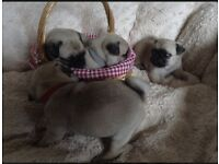 BEAUITFUL KC REG PUG GIRLS!!!