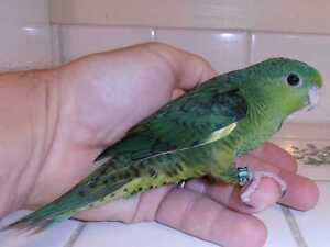Lineolated Parakeet Kawartha Lakes Peterborough Area image 1
