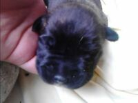 Staffy x Akita Puppies