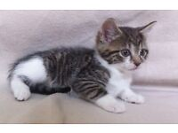 Gorgeous Patterned FEMALE Tabby and White Kittens - 8wks old Ready Now