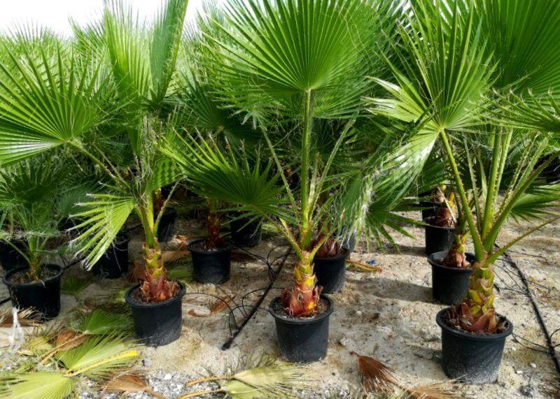 Washingtonia robusta  180cm  Washington-Palme frosthart - 8°C Petticoatpalme