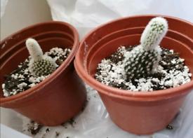 Small cactus plant £2.50
