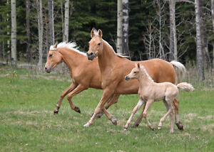 Golden palomino Arabian broodmare - they don't get any better!