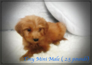 F1 Tiny & Mini Goldendoodles.!Golden Doodles!