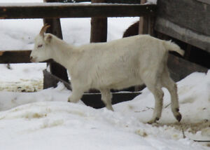 Bred yearling doe (goat)