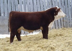 Quality Polled Hereford Yearling Bulls For Sale