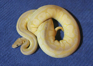 Ball pythons for sale hatchlings and adults