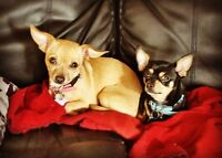 QUALITY CHIHUAHUA PUPPIES ~ EXPECTED EARLY MARCH 2016 ~