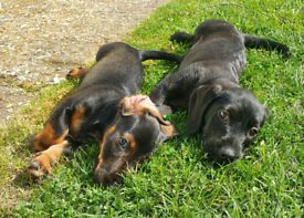 Dachshund Puppies *READY TO LEAVE*