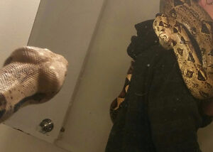 9 ft super docile red tail boa