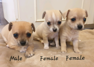 Pedigree Chihuahua Puppies