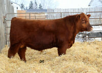 Two High Quality Red Angus Yearling Bulls
