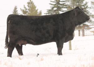 Embryos For Sale on Simmental Donors