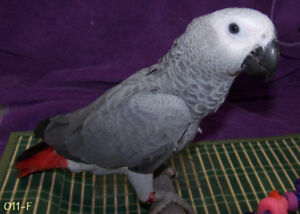 African grey babies available
