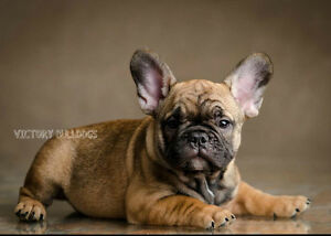 Top Quality CKC Reg'd French Bulldog Puppies Blue and Standards