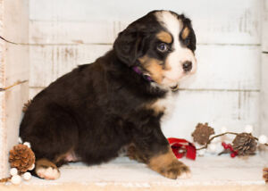 8 Purebred Bernese Mountain Dog Puppies