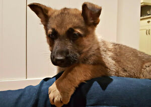 Purebred German Shepherd Puppies London Ontario image 7