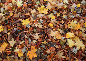 Fall/Leaf Cleanup and Eavestrough Cleaning London Ontario image 1