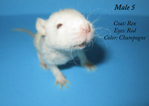 Beautiful Baby Rats - Ready for Forever Homes!