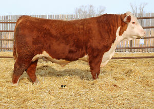 Two Year Old Polled Hereford Bull For Sale