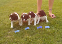 ADORABLE ENGLISH SPRINGER SPANIEL PUPPIES ONLY 4 LEFT