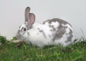 Meat Rabbits- Herd Reduction