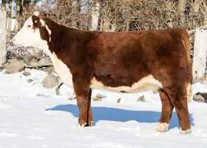 Hereford open show and 4-H heifers/prospects