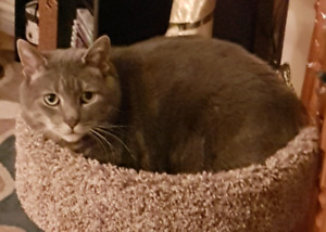 Lost grey scarred kitty Cole Hbr