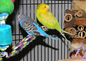 3 Budgies, Huge Cage & Accesories